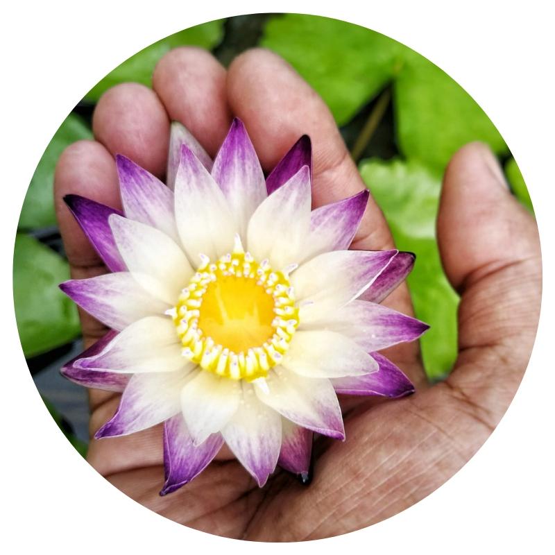 Lotus_klein_Hand_rundjpg